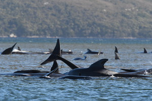 Stranded whales at Macquarie Harbour (ANSA)