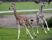Giraffe morte per stress in zoo Polonia